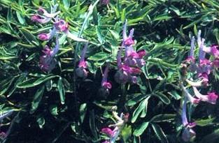 Corydalis-yanhusuo-W-T-Wang-20040
